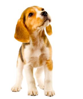 Beagle Groomer